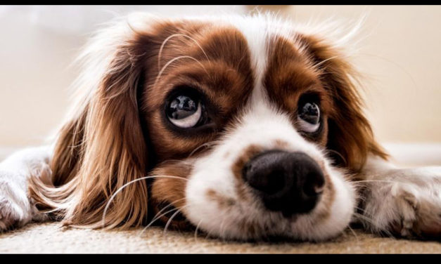 Scientists Take A Look Behind Those Sad Puppy Dog Eyes