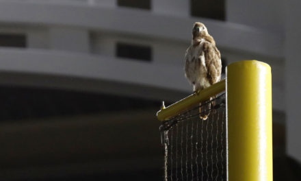 Red-tailed Hawk Hangs Out At Yankee Stadium