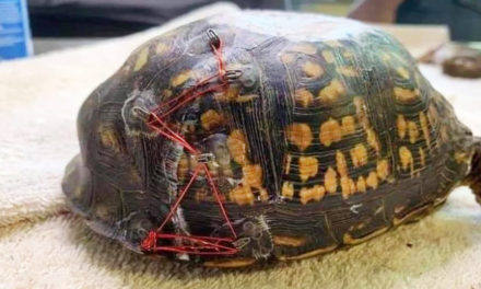 Animal Rescue Group Needs Old Bras For Injured Turtles