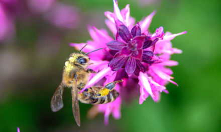 National Honey Bee Day Is August 17, Five Easy Things You Can Do To Help Bees