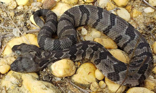 Rare Two-headed Rattlesnake Found In New Jersey Forest