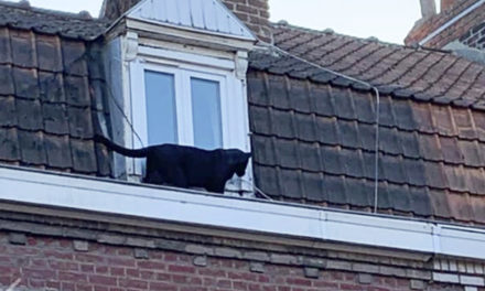 Black Panther Caught Prowling Around On French Rooftops