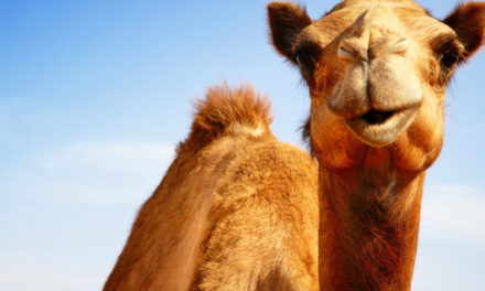 Truck Stop Camel Receives Antibiotics After Woman Bites It