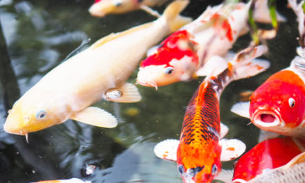 Thief Steals $4K Worth Of Ornamental Fish From Pond