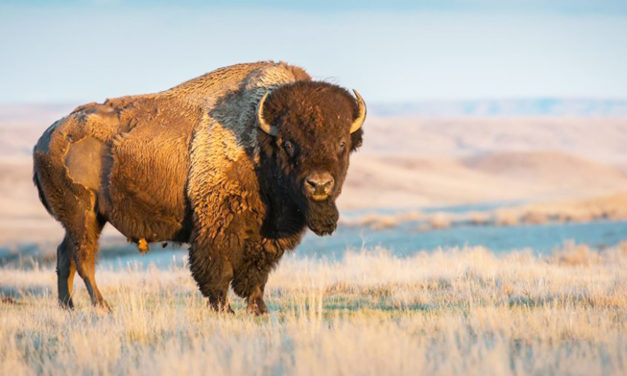 Woman Says Bison Flipped Her Into The Air And Broke Her Ankle