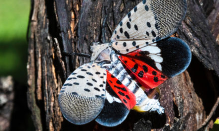Pennsylvania Wages War On Great Spotted Lanternfly