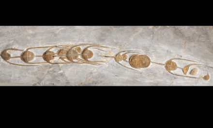 Fossils Show The Urge To Line Up Is Over 480 Million Years Old