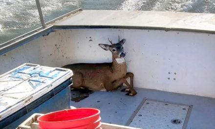 Lobsterman Rescues Deer Five Miles Off The Coast Of Maine