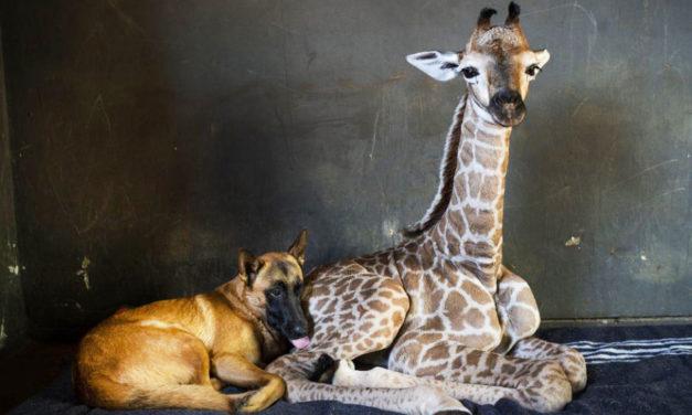 Abandoned Baby Giraffe Befriended By Dog