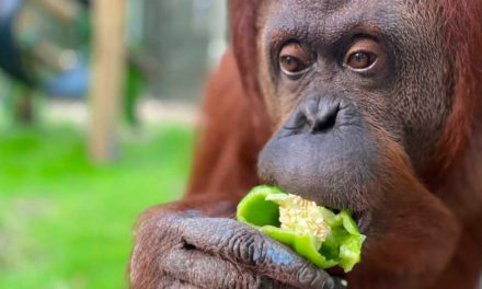 Orangutan Granted Personhood Settles Into New Florida Home
