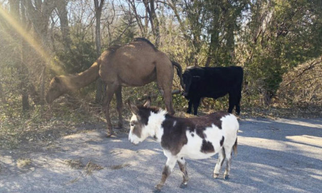 Camel, Cow And Donkey Found Roaming Down Road Together