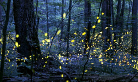 New Unusual Firefly Species Discovered At Nature Preserve