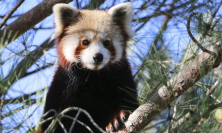 Red Panda Escapes French Zoo