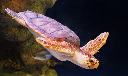 Students Helped Spur Sea Turtle Patrols That Led To Recovery