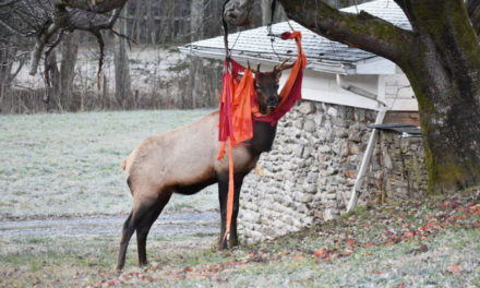 NC Elk Gets Tangled Up In Red Hammock On Thanksgiving