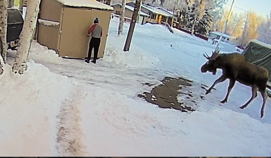 Curious Young Moose Trapped Alaskan Man In Shed