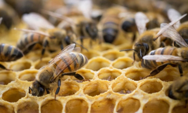 Discover The Art Of Beekeeping At The Library, Jan. 11 & 14