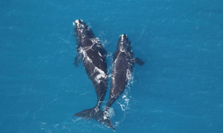 Counting Whales From Space Could Be Key To Saving Them