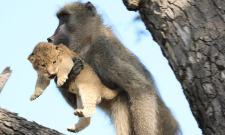 Baboon Grooms Little Lion Cub In South Africa's Kruger Park