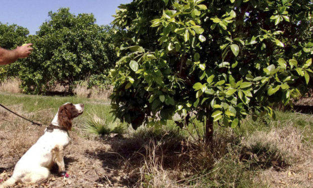 Dog Sleuths Sniff Out Crop Disease Attacking Citrus Trees
