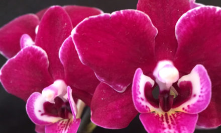 Ironwood Estate Orchids Annual Open House, Feb. 7 – Feb. 14