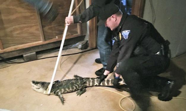 Authorities Capture Alligator Kept In Basement Of House