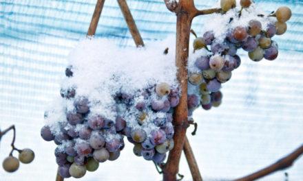 Warm Weather Has Nixed Special German Ice Wine