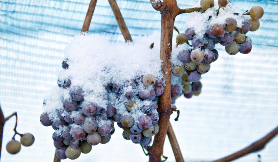 Warm Weather Has Nixed Special German Ice Wine