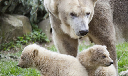 Public Debut Without Public For Polar Bear Cubs At Dutch Zoo