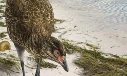 'Wonderchicken' Fossil Reveals Ancestor Of Today's Birds