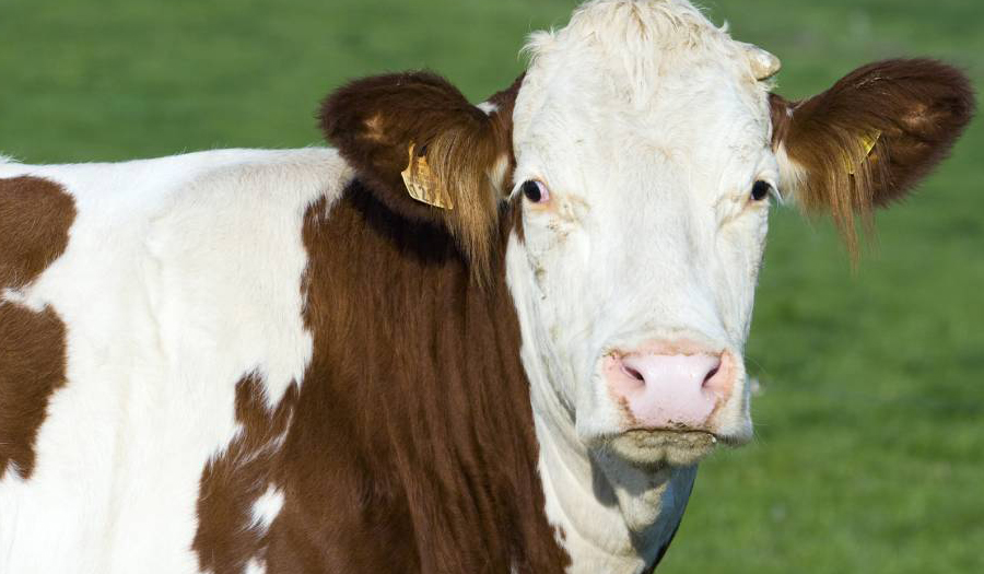 Cow Is On The Loose And Wanted By Police In Florida