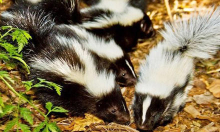 New Molecule That Kills Skunk Odor Grown On Cheerios