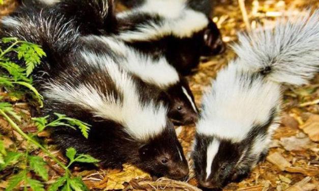 New Molecule That Kills Skunk Odor Grown On Cheerios