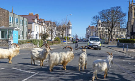 Un-Baa-Lievable! Goats Invade Locked-Down Welsh Town