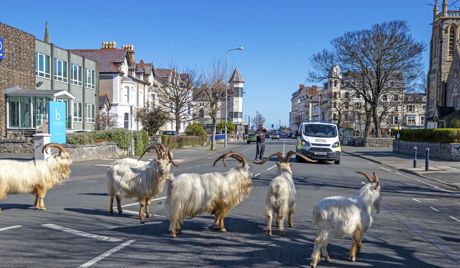 Un-Baa-Lievable! Goats Invade Locked-Down Welsh Town