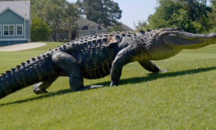 Officers Find An Alligator While Responding To Robbery