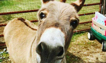 NC Farmer Rents Out Miniature Donkey To Crash Video Calls