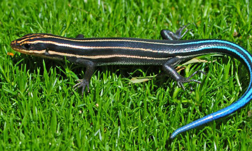 The Smallest State May Have Reason To Brag About A Lizard