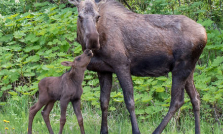 Trooper Brings Moose Calves And Mom Together
