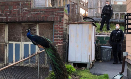 Police Use Mating Call To Catch A Peacock That Escaped Zoo