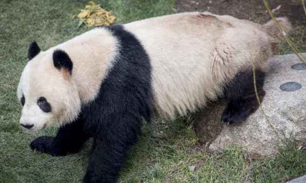 Panda Escaped From  Enclosure At Danish Zoo