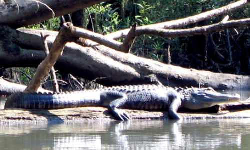 Officials Seek To Nab Alligator Spotted In Kansas Creek