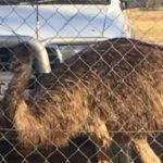 Australian Outback Pub Bans Messy Emus For Bad Behavior