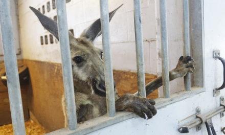 Kangaroo Hops Through Fort Lauderdale Neighborhood