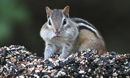 Chunky Chipmunks Are Driving People Nuts
