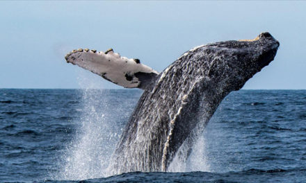 Three Injured When Boat And Humpback Whale Collide