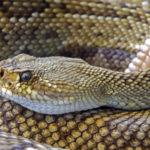 Woman Finds Rattlesnake Under Her Wheelchair Seat
