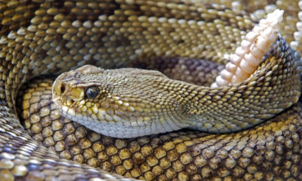 Woman Finds Rattlesnake Under Her Wheelchair Seat