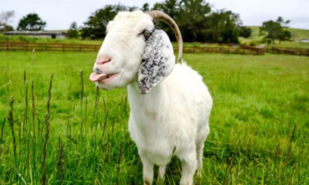 Farmers Pay Arizona City Official With Goat For Outside Job