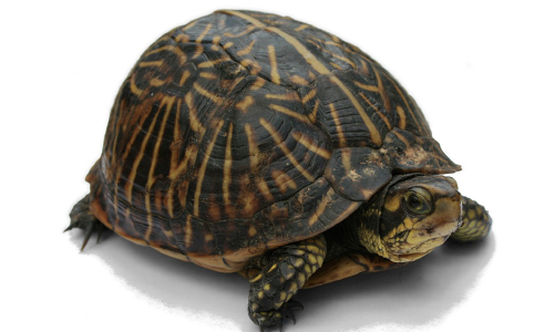 74 Days, Less Than 1 Mile Later, Tennessee Turtle Recovered